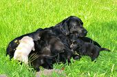 stock photo of breastfeeding  - beautiful moment of breastfeeding of youhg labrador pupies - JPG