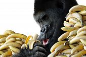 foto of potassium  - Very happy male gorilla surrounded by stacks his favorite food - JPG