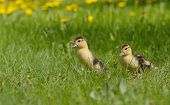 foto of musky  - Group of little ducklings walking on a green meadow - JPG