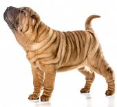 foto of shar-pei puppy  - chinese shar pei puppy standing wagging tail isolated on white background - JPG