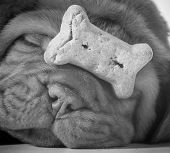 picture of dogue de bordeaux  - dog with a bone  - JPG