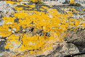 stock photo of face-fungus  - Xanthoria parietina a foliose or leafy lichen also known as golden shield lichen common orange lichen yellow scale maritime sunburst lichen and shore lichen - JPG