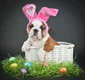 image of little puppy  - Little Bulldog puppy sitting in a basket wearing Easter bunny ears on a black background - JPG