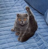 foto of scottish-fold  - Scottish Fold cat sitting on blue background - JPG