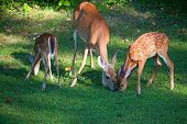 foto of black tail deer  - Doe and two fawns in spots that are eating - JPG