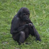 foto of ape  - A side portrait of a young gorilla male sitting on the grass - JPG