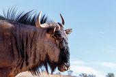 pic of wildebeest  - portrait of A wild Wildebeest Gnu Kgalagadi Transfrontier Park Botswana true wildlife - JPG