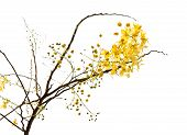 picture of vishu  - branch of blossom from the golden shower tree isolated with clipping path - JPG