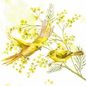 pic of mimosa  - Sprig of Mimosa and Yellow Bird - JPG