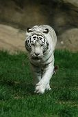 foto of white-tiger  - White tiger  - JPG