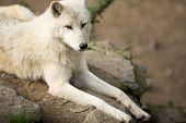 stock photo of wolf-dog  - Arctic Wolf  - JPG