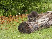 foto of raccoon  - Young raccoon exploring a log in a wildflower meadow - JPG