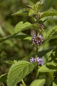 stock photo of meadowsweet  - flower wild spearmint  - JPG