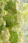 picture of bine  - Green hop cones branch with leafs taken closeup - JPG