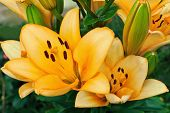 stock photo of stargazer-lilies  - group of yellow lilies in a garden background - JPG