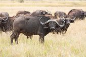 foto of grassland  - african buffalo herd on grassland - JPG