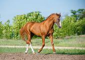 foto of chestnut horse  - Chestnut horse walking in a field paddock outdoors - JPG