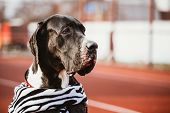 image of great dane  - Close Up Great Dane Female Dog Watchdog - JPG