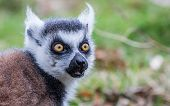picture of west midlands  - Lemur  at West midlands safari park in the uk - JPG