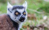 picture of west midlands  - Lemur  at West midlands safari park in the uk - JPG