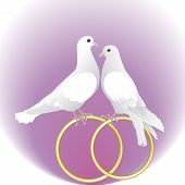 stock photo of ring-dove  - Two White Pigeons And Gold Wedding Rings - JPG