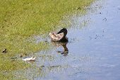picture of duck  - Mallard Hen in a stream of freshly melted ice - JPG