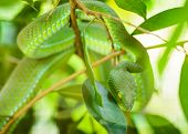 picture of jungle snake  - Green snake in tropical forests in Thailand.