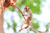 picture of crab  - Little Monkey (Crab-eating macaque) on tree in Thailand ** Note: Soft Focus at 100%, best at smaller sizes - JPG