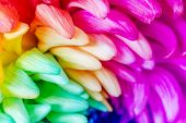 stock photo of transpiration  - Colorful of rainbow Chrysanthemum flower background texture.