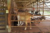 foto of cattle breeding  - Goat farm to breed goat that produce goat milk - JPG