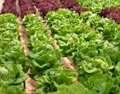 picture of hydroponics  - Hydroponic lettuce in greenhouse - JPG