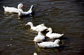 pic of duck pond  - white duck swiming in pond at zoo - JPG