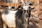 image of goat horns  - The goat with the big horns near the fence - JPG
