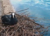 pic of water bird  - Fulica atra - JPG