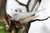 pic of tern  - White tern incubates the egg on a tree branch. Cousin Island in Seychelles.