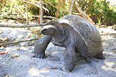 image of tortoise  - Aldabra giant tortoise in island Curieuse - JPG