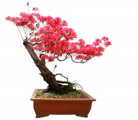 pic of azalea  - Red azalea bonsai isolated on white background - JPG