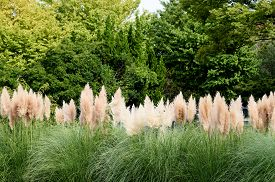 picture of pampa  - Pampas Grass - JPG