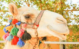 picture of camel  - Camel - JPG