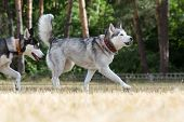 image of dry grass  - Two Siberian Husky plays in the park - JPG