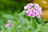 pic of lantana  - pink lantana camara flower on green background - JPG