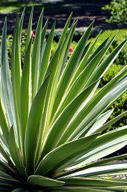 foto of century plant  - Century Plant - JPG