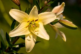 pic of asiatic lily  - Vibrant yellow colored Asiatic Lily flower close up - JPG