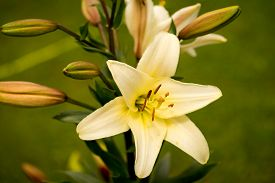 picture of asiatic lily  - yellow asiatic lily in flower garden close up - JPG