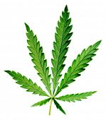 stock photo of rastafari  - Leaf of hemp on white background  - JPG