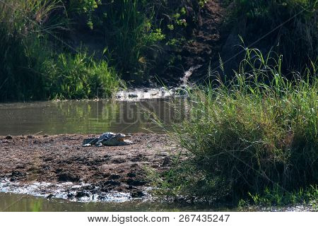 Nile Crocodile Or Crocodylus Niloticus