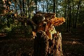 An Old Tree Trunk, Broken And Crushed By An Autumn Storm, Is Lit With Striking Sunlight In The Middl poster