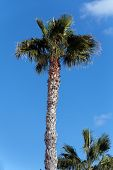 Постер, плакат: Палм дерево Монтана Роха на заднем плане Ланзароте Испания