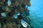 picture of sergeant major  - Shoal of Sergeant Major Fishes - JPG
