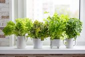 Fresh Aromatic Culinary Herbs In White Pots On Windowsill. Lettuce, Leaf Celery And Small Leaved Bas poster